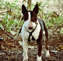 Nadal The English Bull Terrier II by scribbleXcore