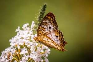 Gold Wings by DGPhotographyjax