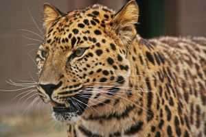 Amur Leopard by rosswillett