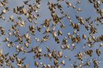 The Coloured Waxwing Flight by Robin-Hugh