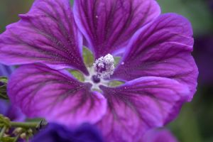 Purpled by Clangston