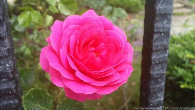 A Pink Rose by InSeRtPiChErE