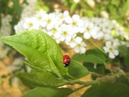 Spring ladybug by MaguschildCloud