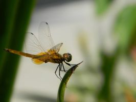 Dragonfly by ToaKarou
