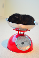 Guinea pig weighing by Tapire
