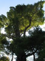 ancient white pine 6 by crazygardener