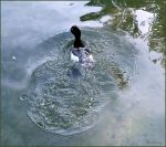 Tufted Duck 02 by Lupsiberg