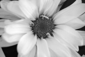 Darling Daisy. by CanadaCapable