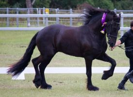 STOCK - Friesian Show 2012-115 by fillyrox