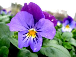Pansy by RachelLou96