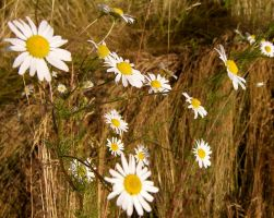 Marguerites by madko