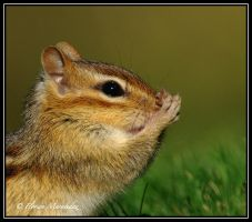 Chipmunk 5 by Ptimac
