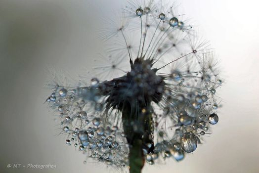 Dandelion combines with delicate water pearls by MT-Photografien