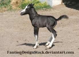 Foal - Abe 14 by FantasyDesignStock