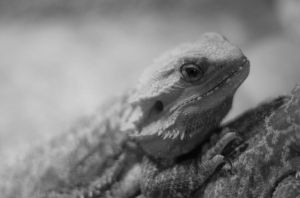 Bearded dragon by peterb200295