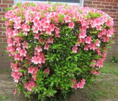pale pink azaleas 02 by CotyStock