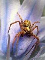 Crab Spider by iriscup