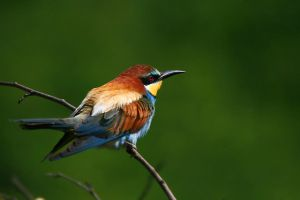One more bee eater by Dtomi84