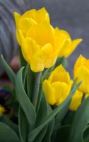 Yellow Tulips - 3852 by creative1978