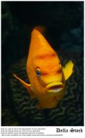 Orange Ghiribaldi Fish.3 by Della-Stock