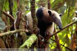 Northern Tamandua by OutOfSomewhere