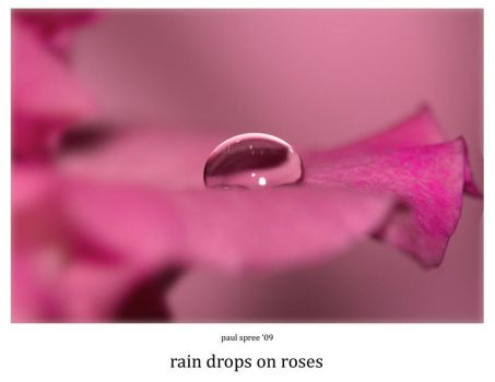 rain drops on roses by Spree5326
