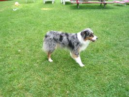 Australian Shepherd 7 by SunnyBlueDay