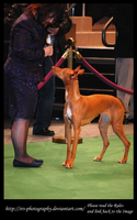 -Pharaoh hound- :Stock: by SRS-Photography