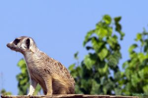 Meercat by agelisgeo