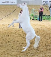 STOCK - Cremello Part Arabian Rear 3 by fillyrox