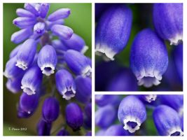 Grape Hyacinth Collage by thriftyredhead