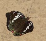 Titli - Indian butterfly by coshipi