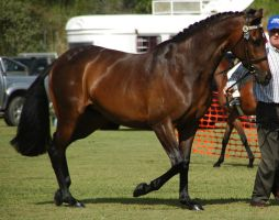 Bay-warmblood-7 by tbg-stock-images