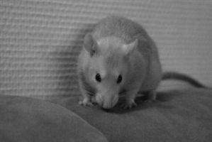 A decent picture of my rat Fred xD by xKaorux1x
