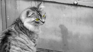 The Cat (HD Wallpaper) by Pimpernel