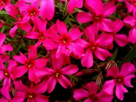 pink flowers by Arzhael71