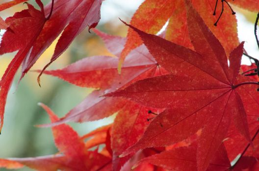 Red Japanese maple Leaves by klopez3