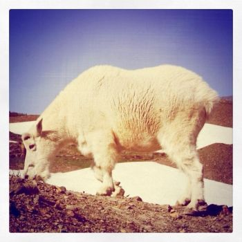 Mountain Goat by Pecetta