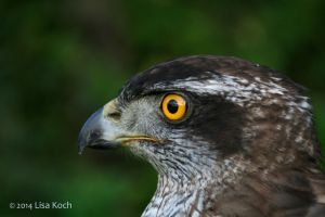the goshawk by asio-otus-otus