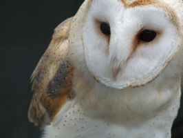 Jess - Barn Owl by moirsypan