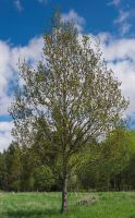 Spring tree by perost