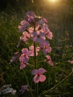 Dame's Rocket In Golden Hour by Pentacle5