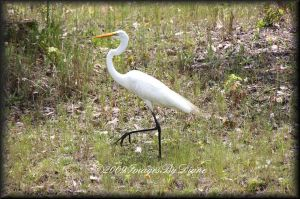 Great White Heron by SassyPants61762