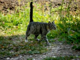 The cat 1 by EvgeniaSummer