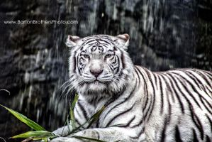 Mythical White Tiger by Bartonbo