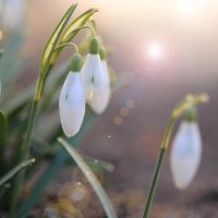 wake up little snowdrops by MorkOrk