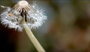 Dandelion by nureen