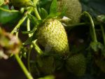 strawberry plant3 by kittykatty89