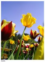 Tulips 2 by SLDG