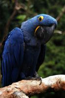 parrot - blue hyacinth macaw by dustfactory